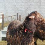 خرید و فروش عمده گوسفند پرواری