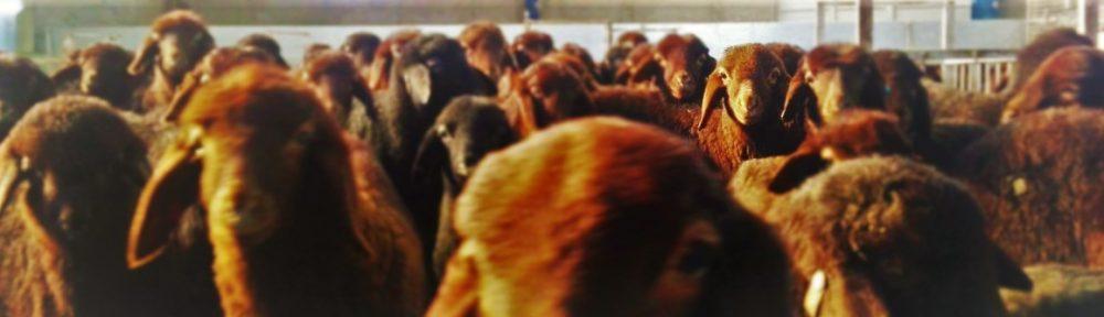 خرید گوسفند پرواری
