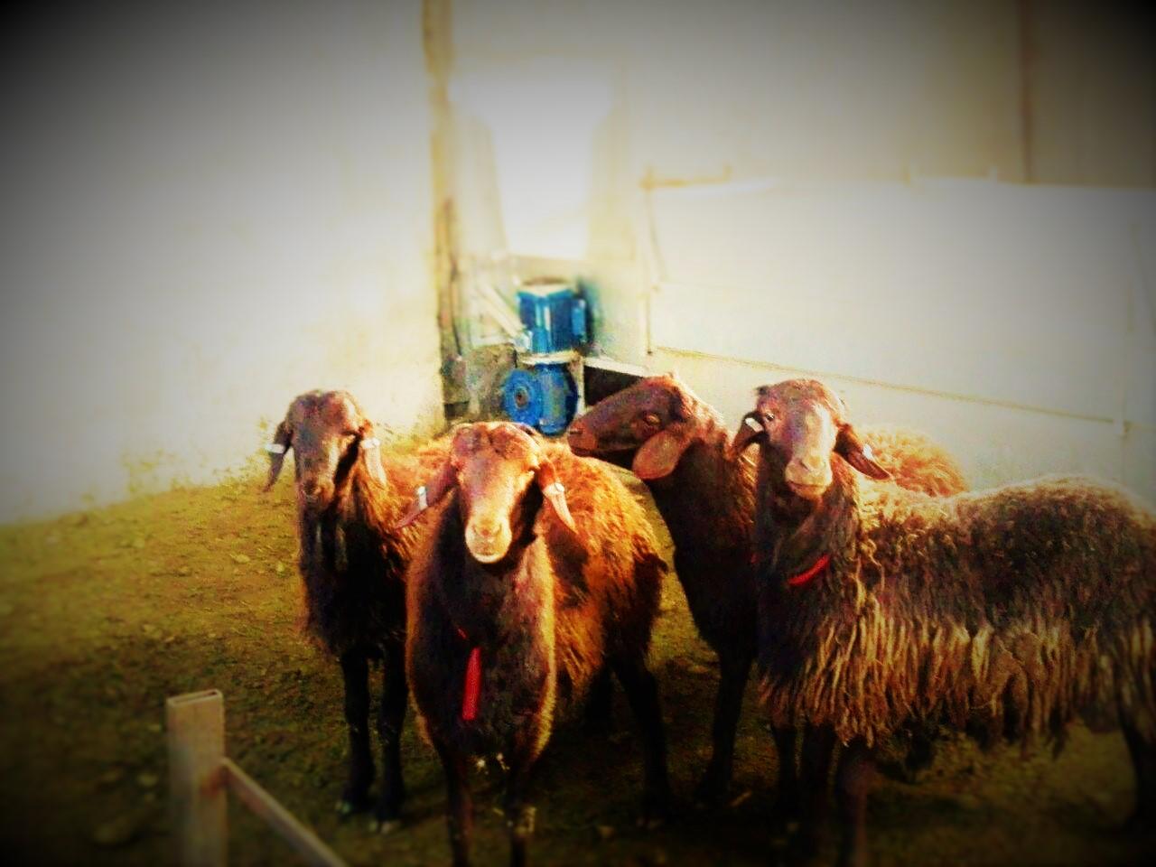 گوسفند پرواری