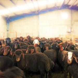 خرید اینترنتی گوسفند پرواری